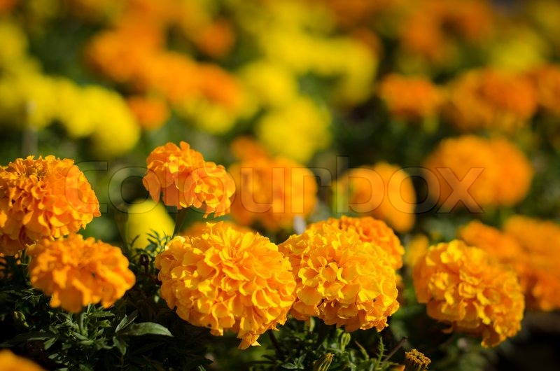 Marigold flower in yellow and orange color | Stock Photo ...