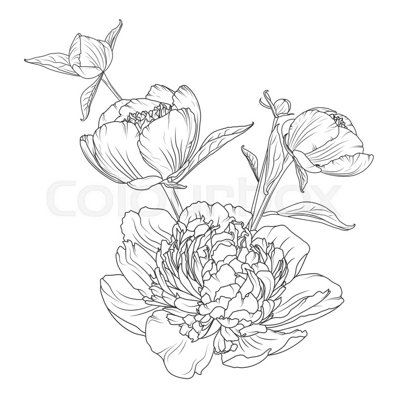 Peony rose flowers bouquet composition detailed realistic outline peony rose flowers bouquet composition detailed realistic outline sketch drawing black line art on white background closeup macro view mightylinksfo Gallery