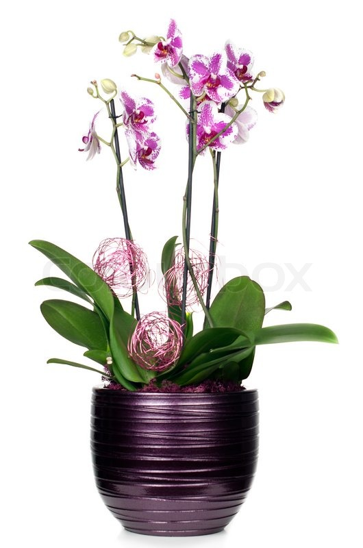 Purple And White Orchid Flowers Purple Orchid Flower in a Pot