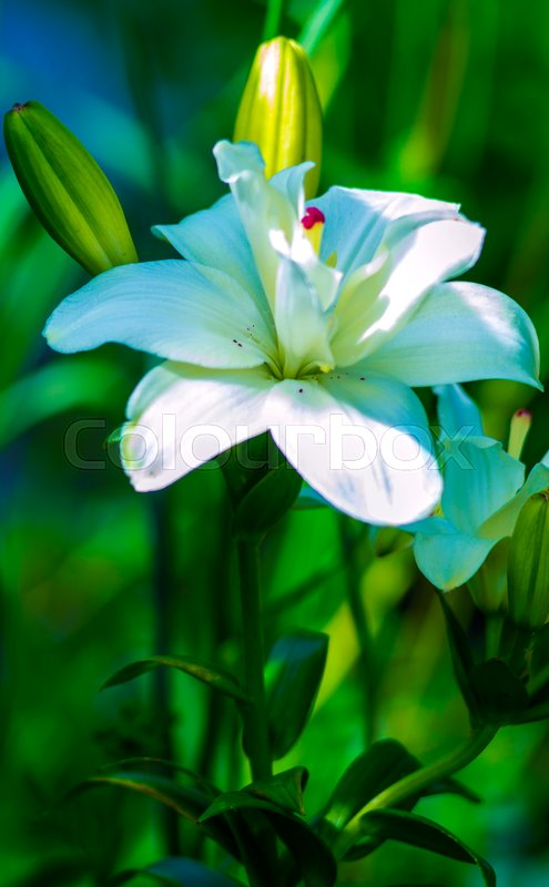 Lilies. madonna lily,white lily,flowers spring,lily on white,white flowers,white petals,lily flowers against fence,amazing white flowers,spring flowers. lily white, stock photo