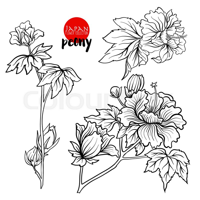 Peony flowers stock line vector illustration botanic flowers outline drawing vector