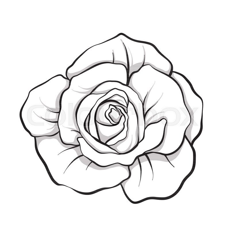 Rose flower isolated outline hand