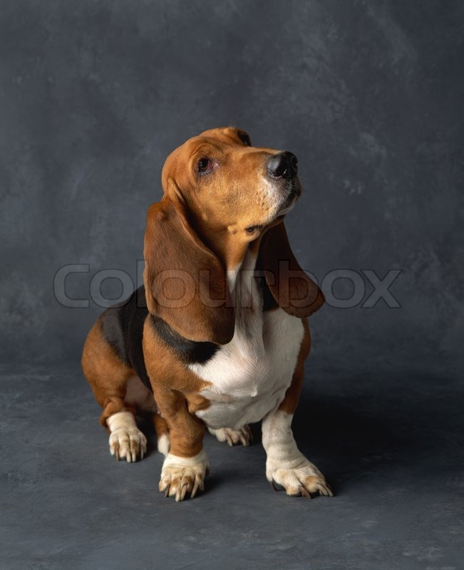 Stock image of 'Dachshund Dog isolated'