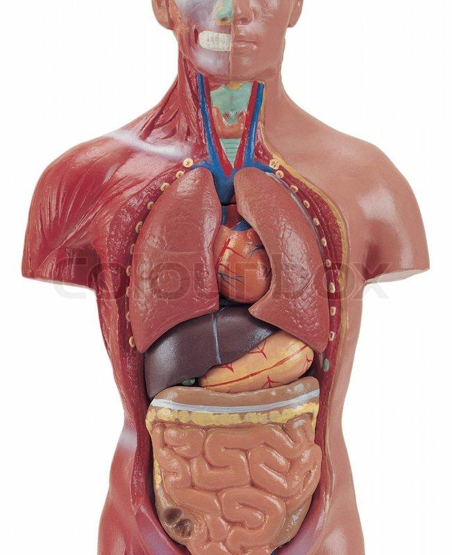 Menschliche Anatomie Schaufensterpuppe isoliert auf weißem ...