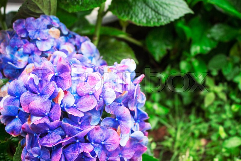 Purple flowers with refreshing in the rainy season, stock photo