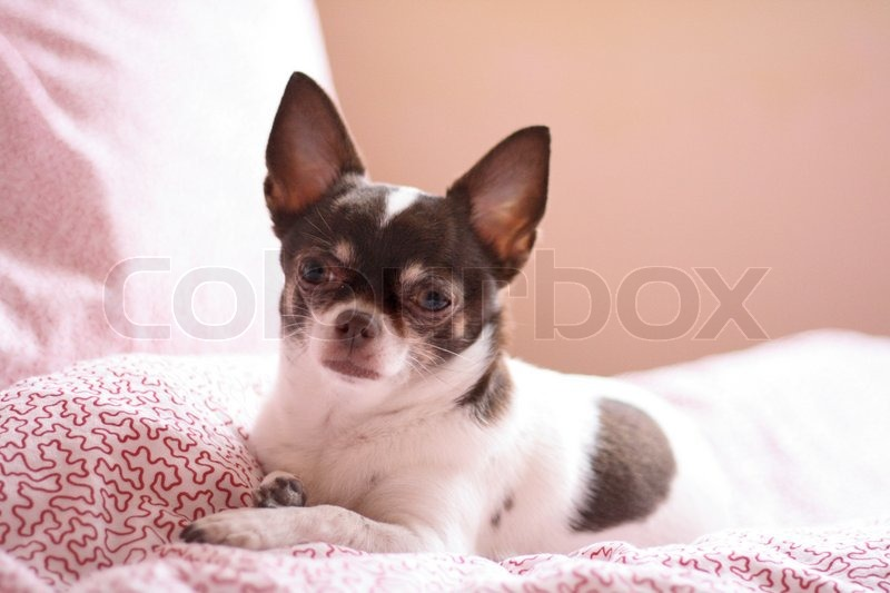 brown and white chihuahua shorthair brown and white chihuahua is resting stock 9221