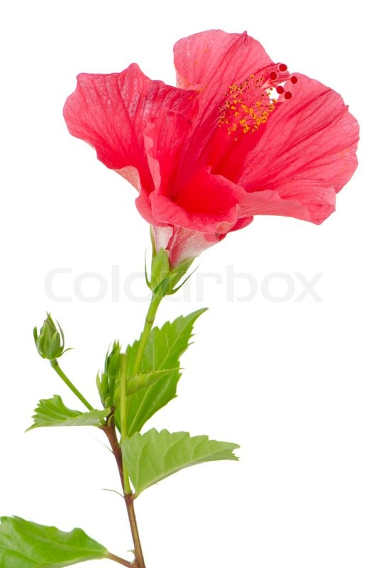 Beautiful pink hibiscus flower isolated on white ...