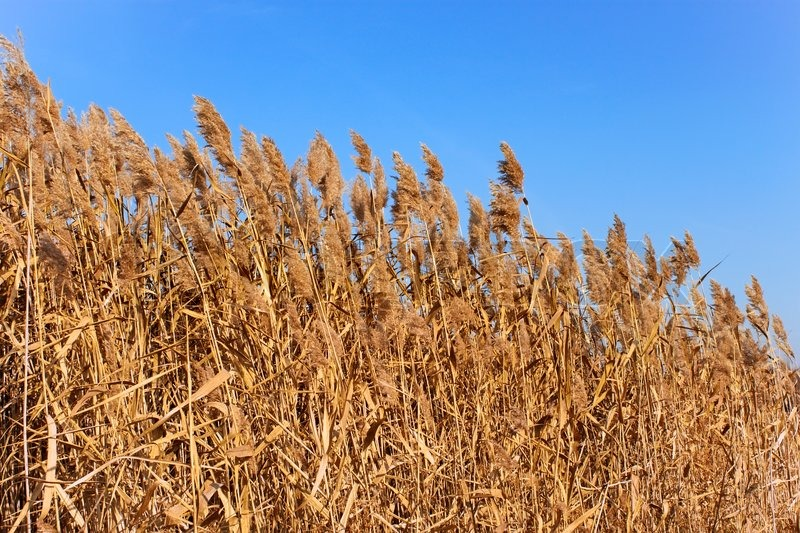 Tops of dried plant cane on the background of blue sky in autumn, stock photo
