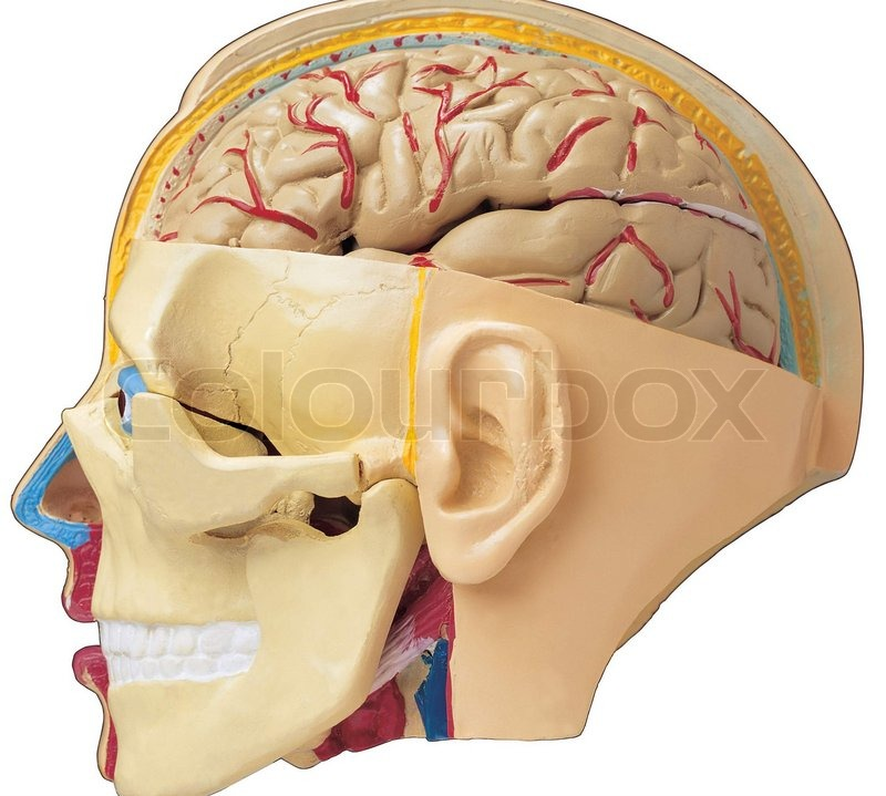 Male head with skull and brain showing through transparent muscles ...