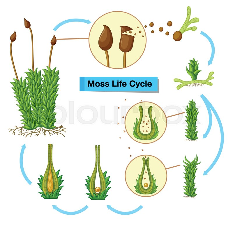 Diagram Showing Moss Life Cycle Stock Vector Colourbox