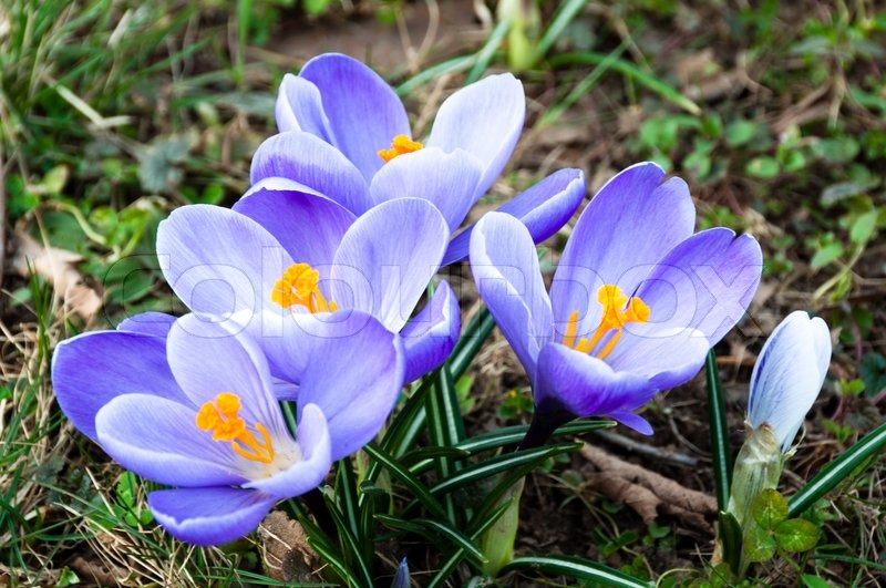 Crocus flowers growing in the grass in spring stock photo colourbox mightylinksfo