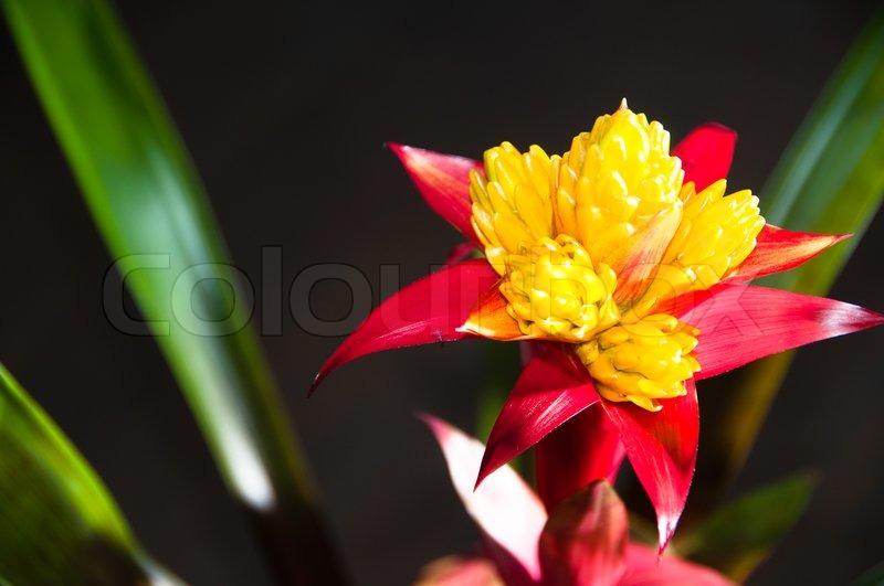 Blomstrende bromelia eller bromeliad plante med m rk for Plante bromelia