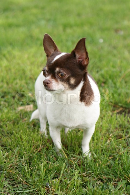 ein kleiner hund chihuahua auf dem rasen stockfoto colourbox. Black Bedroom Furniture Sets. Home Design Ideas