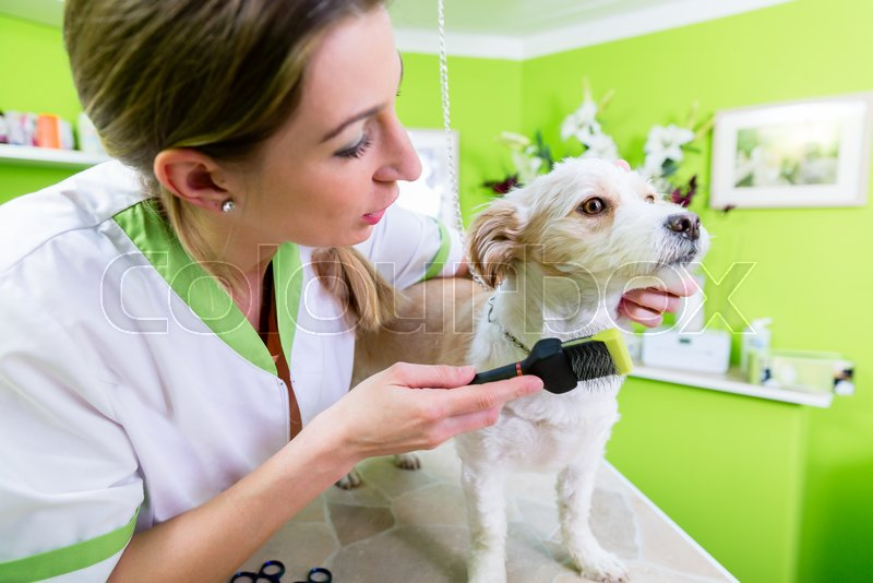 Pedicure for little dog in pet grooming parlor, woman is cutting his paws gently, stock photo