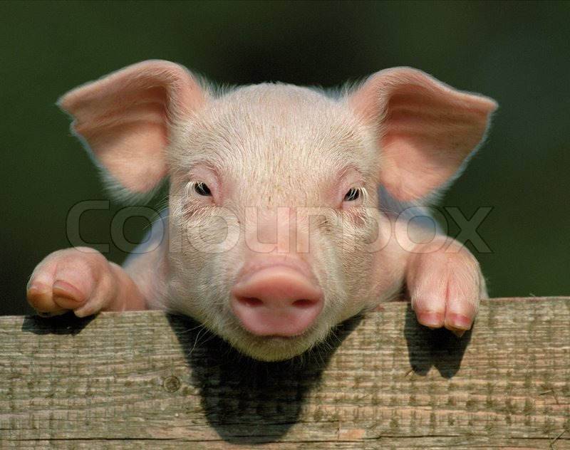 small and funny pink piglet in pen stock photo colourbox