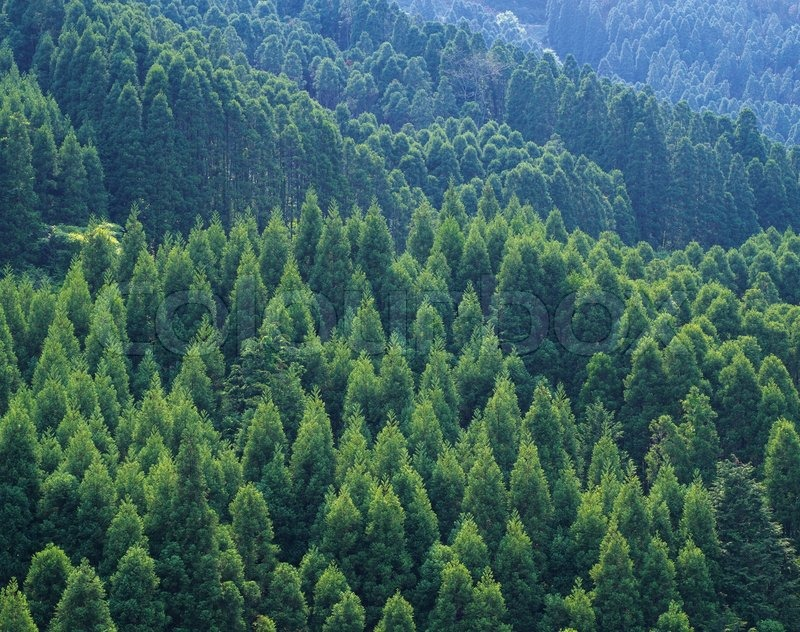 Evergreen Tree Can Be Used As Background Stock Photo