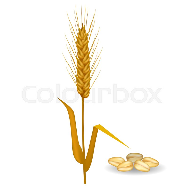 Barley ear with long leaves and crop near pile of grains vector flat ...
