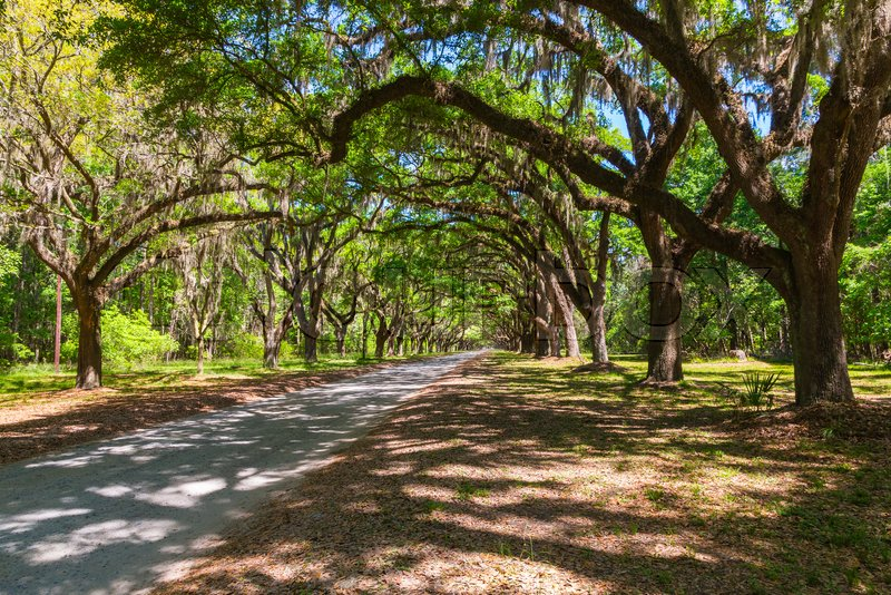 Long road lined with ancient live oak trees draped in spanish moss at historic Wormsloe Plantation in Savannah, Georgia, USA, stock photo