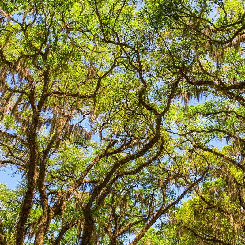Canopy of old live oak trees draped in spanish moss. Savannah, Georgia, USA, stock photo