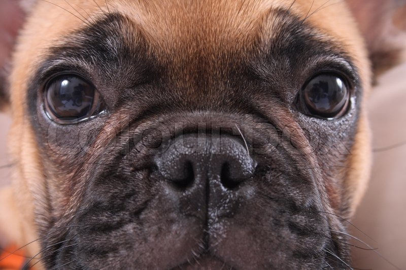 Very Nice Face Of The French Bulldog Stock Photo Colourbox