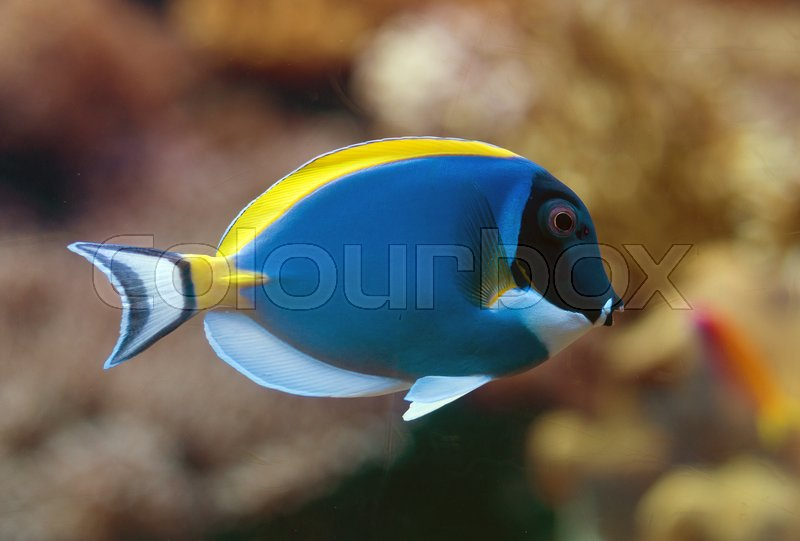 Close-up view of Powder blue surgeonfish, stock photo
