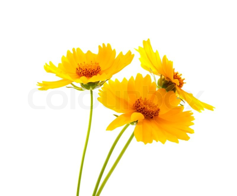 Yellow meadow flowers on a white ...   Stock Photo   Colourbox