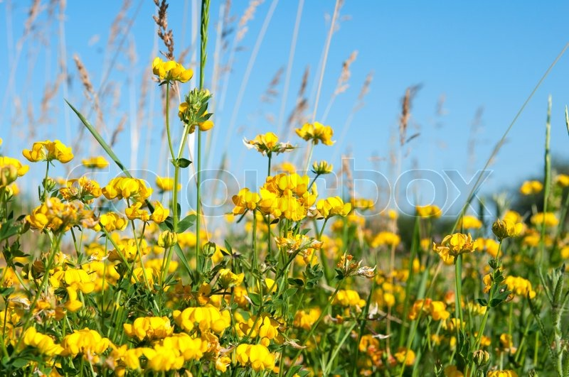 Yellow flowers in summer growing in a meadow stock photo colourbox mightylinksfo