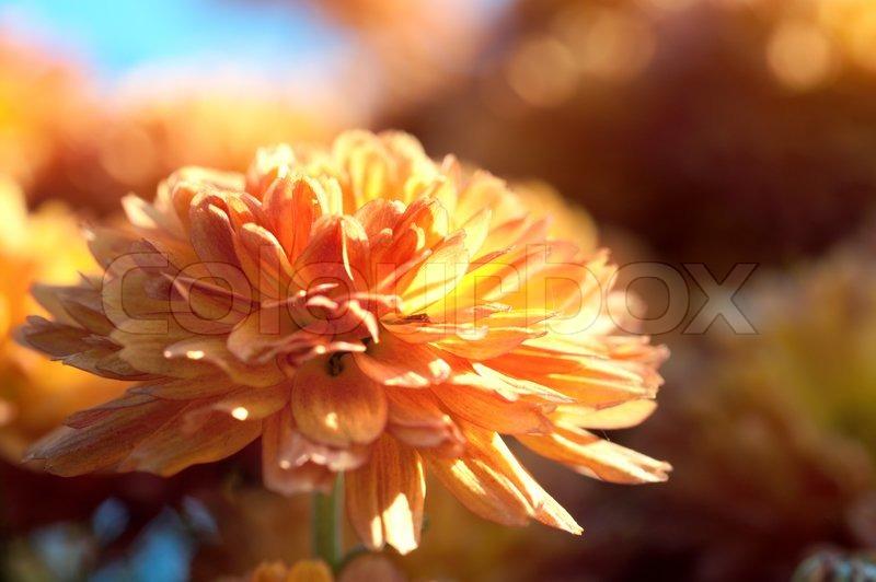 Schöne orange Chrysantheme Blume Herbst lebendigen