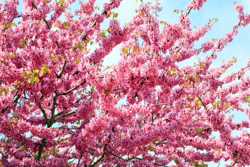 Stock image of 'Blossom tree