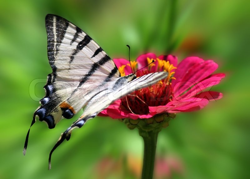 butterfly scarce swallowtail auf blume zinnie. Black Bedroom Furniture Sets. Home Design Ideas