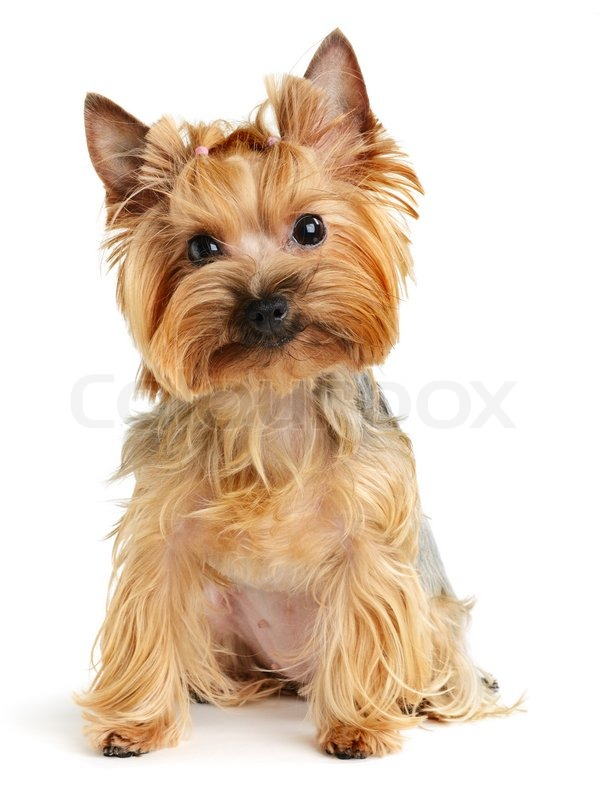 yorkshire terrier white puppy yorkshire terrier on the white background stock 4355
