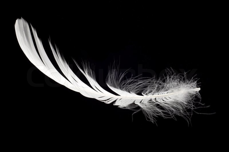 white swan feather isolated over black background stock