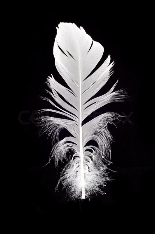 White swan feather isolated over black background stock photo colourbox