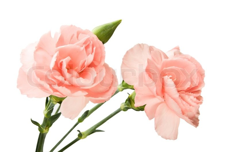 pink carnations isolated over white stock photo colourbox