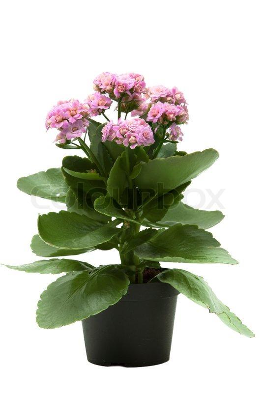Pink Kalanchoe Flower Plant Isolated On White Background