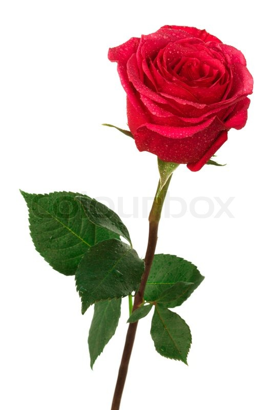 Single Scarlet Rose On White Background Wallpaper Hd Mawar Merah