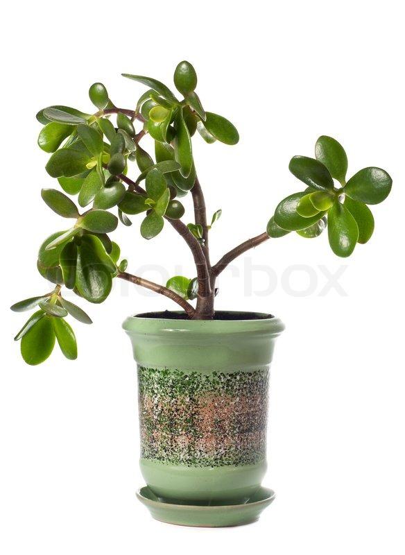 Feng Shui Pflanzen potted stammwerk crassula jade auf weißem dieser pflanze isoliert