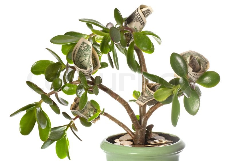 Potted home plant crassula with dollar bills in flower - Feng shui para la prosperidad ...