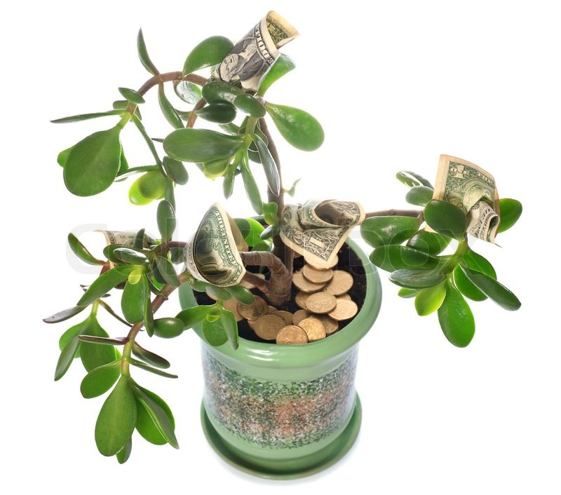 Potted Home Plant Crassula With Dollar Bills In Flower