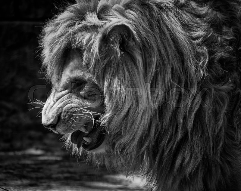 Nature Lion Big Cats Fury Angry Portrait Monochrome: Portrait Of A Fierce Male African Lion Growling And