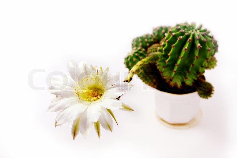 Cactus with big white flower over white stock photo colourbox mightylinksfo
