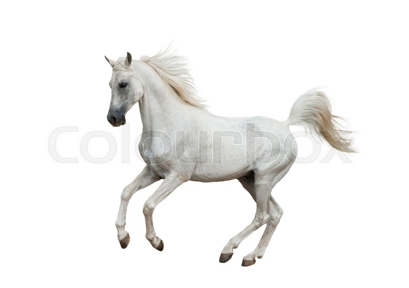 White arabian horse isolated over a white background | Stock Photo ...