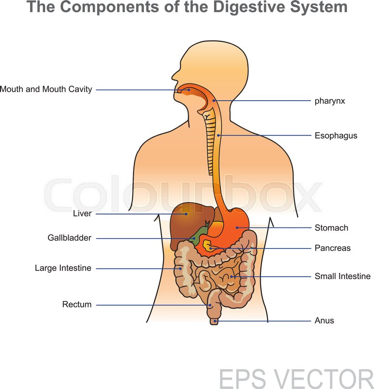 The Human Digestive System Consists Of The Gastrointestinal Tract