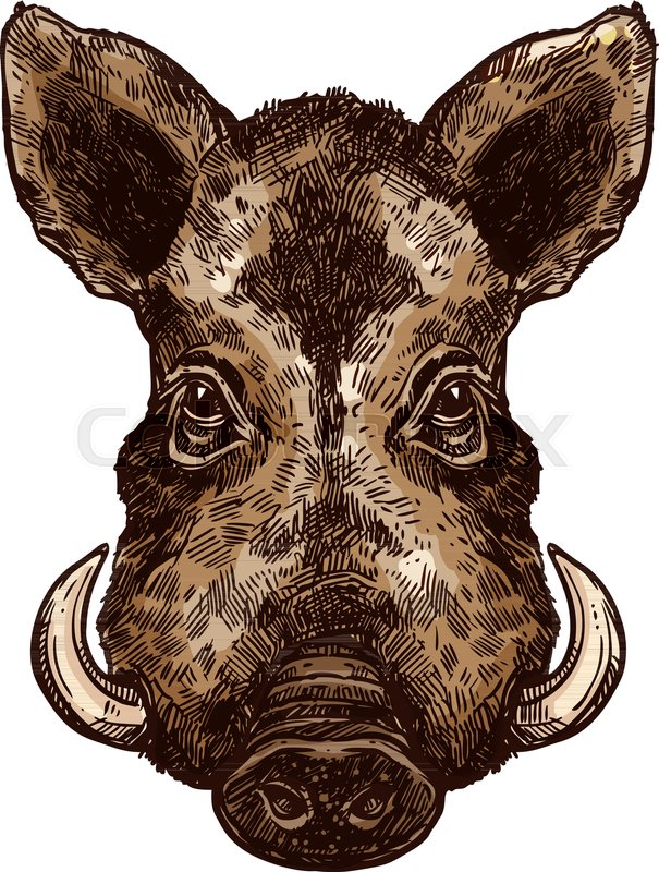 Boar, wild pig animal sketch. Hog or african warthog head isolated ...