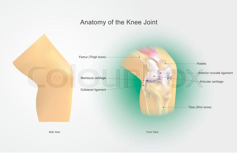 Anatomie, kerbe, ecke | Vektorgrafik | Colourbox