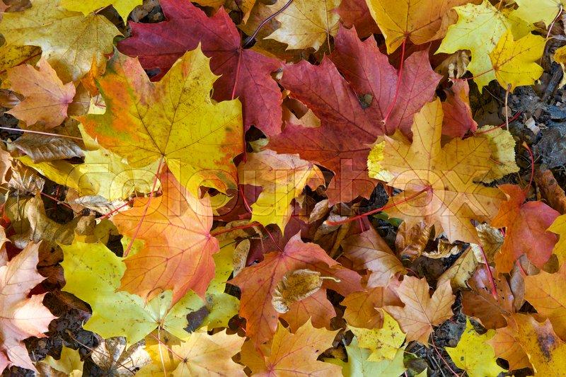 Leafs in orange fall colours, stock photo