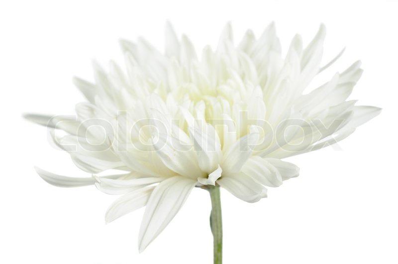 Beautiful white chrysanthemum flower on white background stock beautiful white chrysanthemum flower on white background stock photo mightylinksfo Choice Image