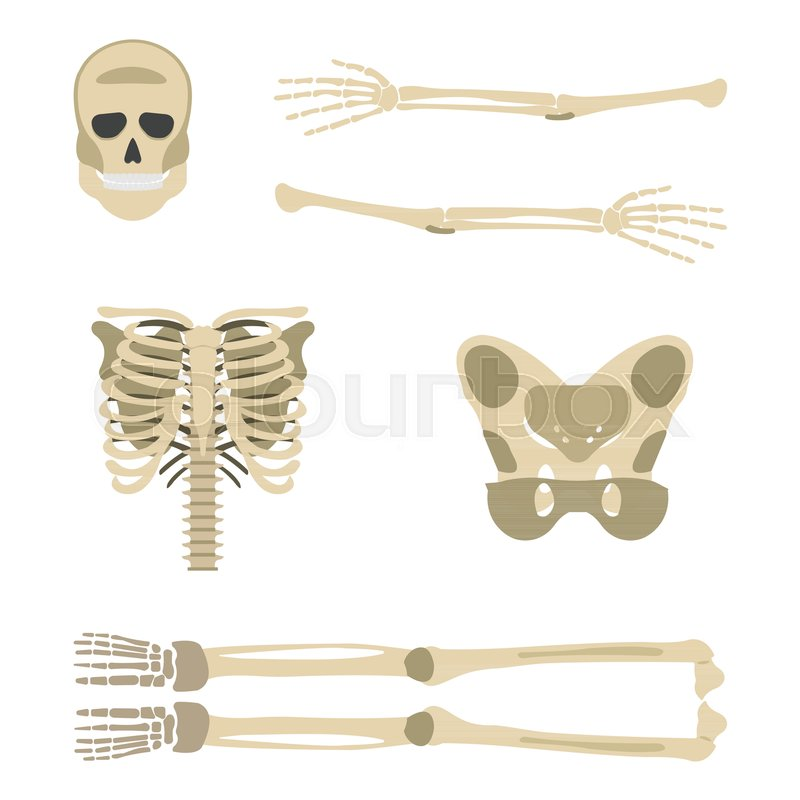 Skeleton parts icon. Human Skeleton front side Silhouette. Isolated ...