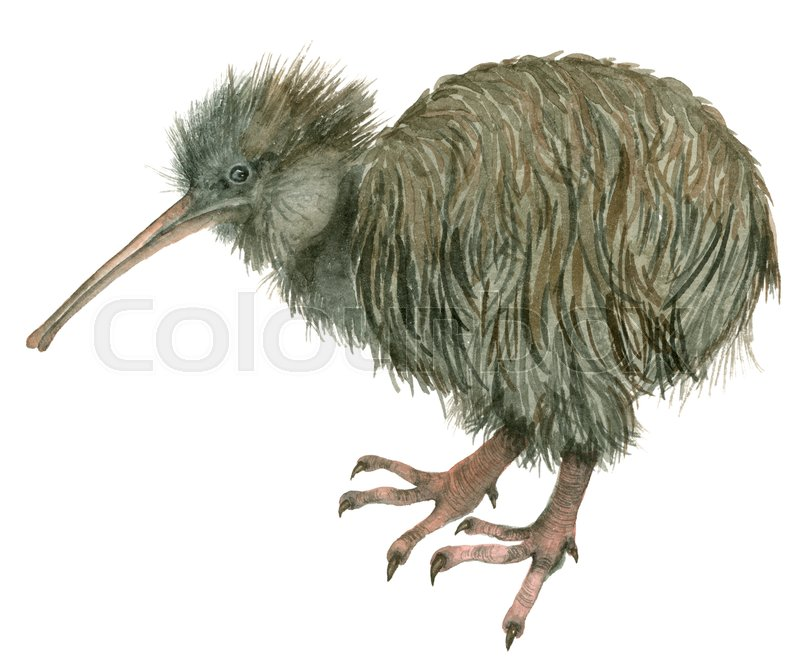 Watercolor kiwi bird isolated on white background. Tropical bird ...