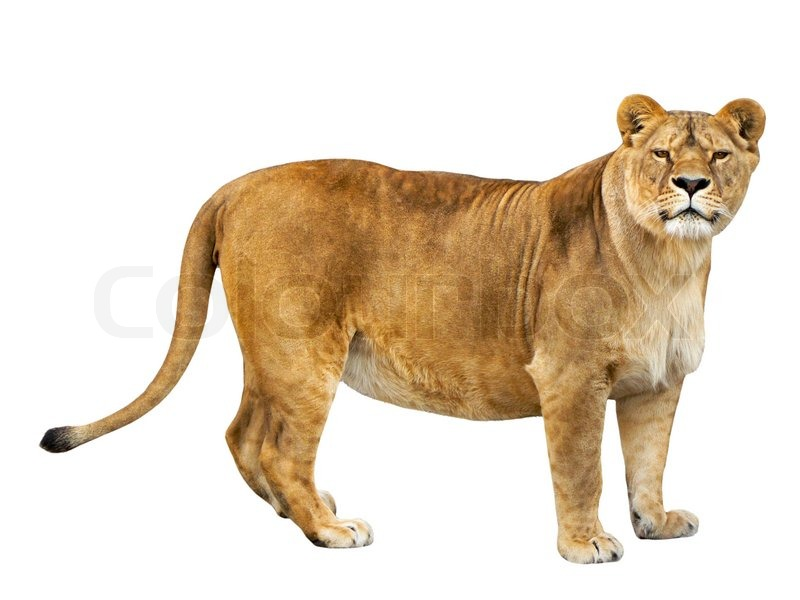 Lioness isolated on a white background | Stock Photo ...